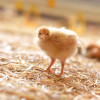 031_poule-et-canard